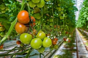 dwc for tomatoes: growing toms