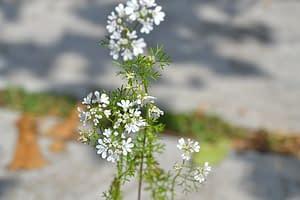 cialntro flowers