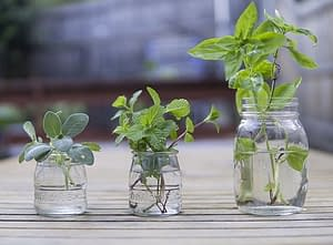 cloning basil in water