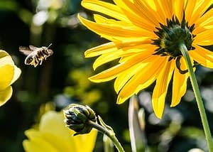 bee approaching to pollinate