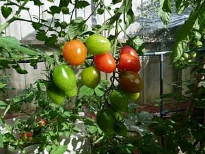 hydroponic systems: growing toms